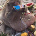 majmun debel